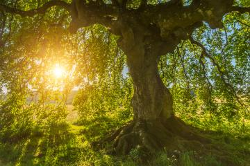 Sun shines through the old Beech - Stock Photo or Stock Video of rcfotostock | RC-Photo-Stock