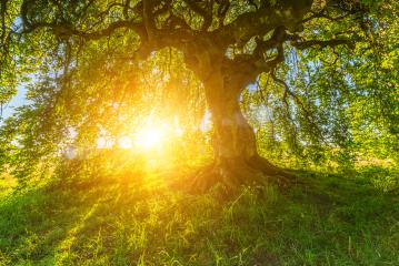Sun shines through the old Dwarf Beech  : Stock Photo or Stock Video Download rcfotostock photos, images and assets rcfotostock | RC-Photo-Stock.: