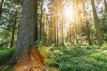 Sunbeams Shining through Natural Forest- Stock Photo or Stock Video of rcfotostock | RC-Photo-Stock