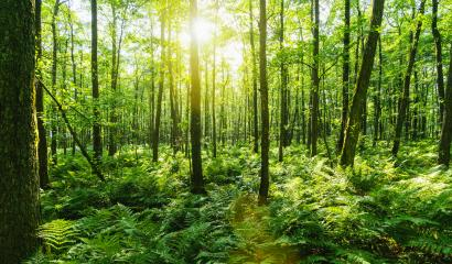 Sunbeams Shining through Natural Forest of Beech Trees- Stock Photo or Stock Video of rcfotostock | RC-Photo-Stock