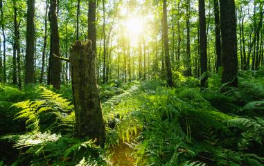 Sunbeams Shining through Natural Forest of Beech Trees, ferns covering the Ground- Stock Photo or Stock Video of rcfotostock | RC-Photo-Stock