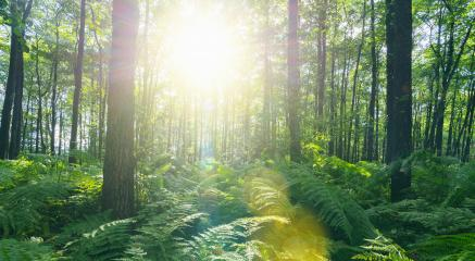 Sunbeams Shining through Natural Forest of Beech Trees with Ferns- Stock Photo or Stock Video of rcfotostock | RC-Photo-Stock