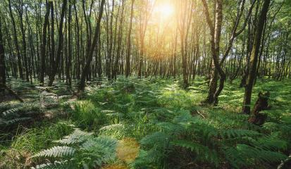 Sunbeams Shining through the magic forest covered with ferns : Stock Photo or Stock Video Download rcfotostock photos, images and assets rcfotostock | RC-Photo-Stock.: