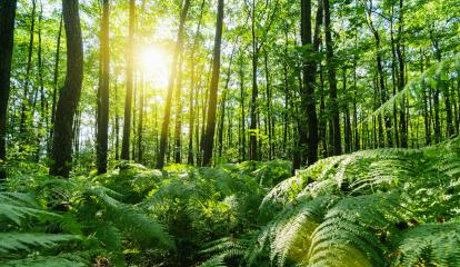 Sunbeams Shining through the magic forest with ferns covering the Ground- Stock Photo or Stock Video of rcfotostock | RC-Photo-Stock