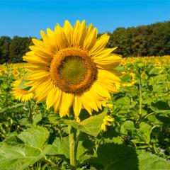Sunflower field at summer- Stock Photo or Stock Video of rcfotostock | RC-Photo-Stock