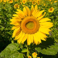 sunflower field at summer, germany- Stock Photo or Stock Video of rcfotostock | RC-Photo-Stock
