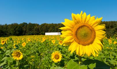 sunflower field over cloudy blue sky with truck- Stock Photo or Stock Video of rcfotostock | RC-Photo-Stock