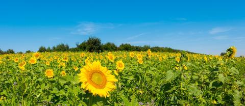 Sunflower field panorama- Stock Photo or Stock Video of rcfotostock | RC-Photo-Stock