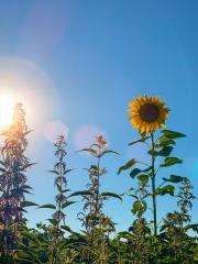 sunflower on blue sky : Stock Photo or Stock Video Download rcfotostock photos, images and assets rcfotostock | RC-Photo-Stock.: