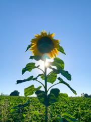 sunflower on blue sky- Stock Photo or Stock Video of rcfotostock | RC-Photo-Stock