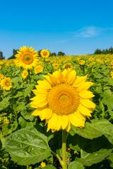Sunflower with sunflower field and blue sky : Stock Photo or Stock Video Download rcfotostock photos, images and assets rcfotostock | RC-Photo-Stock.: