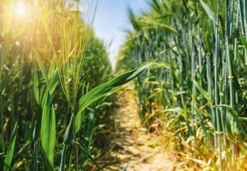 sunny wheat field- Stock Photo or Stock Video of rcfotostock | RC-Photo-Stock