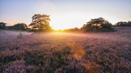 sunrise over flowering pink heather with mist in summer- Stock Photo or Stock Video of rcfotostock | RC-Photo-Stock