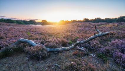 Sunrise over Purple heather hills in bloom wioth big tree trunk in front, Bloomin heather hills Dutch landscape Veluwe Netherlands : Stock Photo or Stock Video Download rcfotostock photos, images and assets rcfotostock | RC-Photo-Stock.: