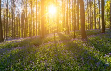 Sunset light rays at the bluebell flower forest - Stock Photo or Stock Video of rcfotostock | RC-Photo-Stock