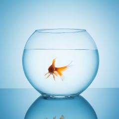 sweet goldfish in a fishbowl : Stock Photo or Stock Video Download rcfotostock photos, images and assets rcfotostock | RC-Photo-Stock.: