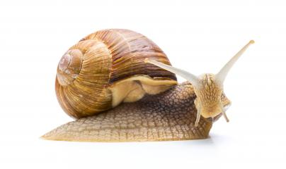 sweet snail - Stock Photo or Stock Video of rcfotostock | RC-Photo-Stock