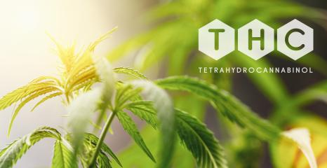 THC cannabis flower and marijuana plant : Stock Photo or Stock Video Download rcfotostock photos, images and assets rcfotostock | RC-Photo-Stock.:
