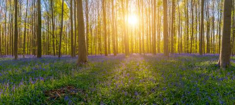 The late evening sun beams through a clump of beech trees in hallerbos illuminating a carpet of bluebells panorama : Stock Photo or Stock Video Download rcfotostock photos, images and assets rcfotostock | RC-Photo-Stock.: