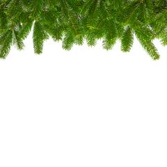tight fir branches in aline - Stock Photo or Stock Video of rcfotostock | RC-Photo-Stock