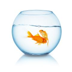 tow goldfishes in a fishbowl : Stock Photo or Stock Video Download rcfotostock photos, images and assets rcfotostock   RC-Photo-Stock.: