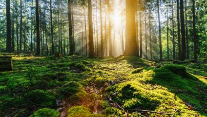 Tranquil scenery in a green forest, with the sun casting enchanting rays of light through the trees- Stock Photo or Stock Video of rcfotostock | RC-Photo-Stock