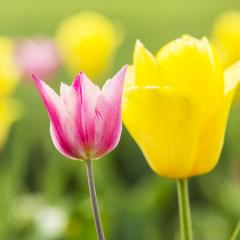Tulip Buds in Summer- Stock Photo or Stock Video of rcfotostock | RC-Photo-Stock