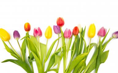 Tulip flowers in a line : Stock Photo or Stock Video Download rcfotostock photos, images and assets rcfotostock | RC-Photo-Stock.: