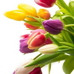 Tulip flowers in different colors : Stock Photo or Stock Video Download rcfotostock photos, images and assets rcfotostock | RC-Photo-Stock.: