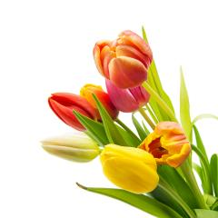 Tulip flowers on white : Stock Photo or Stock Video Download rcfotostock photos, images and assets rcfotostock | RC-Photo-Stock.: