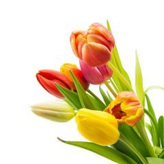 Tulip flowers on white- Stock Photo or Stock Video of rcfotostock | RC-Photo-Stock