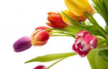 Tulips in different colors : Stock Photo or Stock Video Download rcfotostock photos, images and assets rcfotostock | RC-Photo-Stock.: