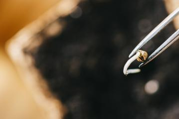 tweezers holding cannabis seed over a pot, Indoor marijuana growing concept image, copyspace for your individual text.- Stock Photo or Stock Video of rcfotostock | RC-Photo-Stock