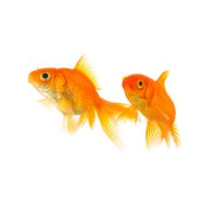 two goldfish friends : Stock Photo or Stock Video Download rcfotostock photos, images and assets rcfotostock | RC-Photo-Stock.: