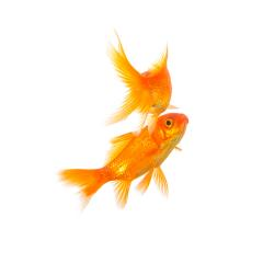 two goldfishes : Stock Photo or Stock Video Download rcfotostock photos, images and assets rcfotostock | RC-Photo-Stock.: