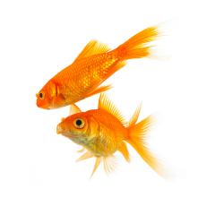 two goldfishes on white : Stock Photo or Stock Video Download rcfotostock photos, images and assets rcfotostock | RC-Photo-Stock.: