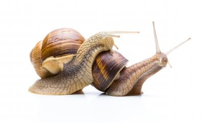 two snails : Stock Photo or Stock Video Download rcfotostock photos, images and assets rcfotostock | RC-Photo-Stock.: