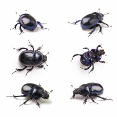 violet dung Beetle set collection on white background- Stock Photo or Stock Video of rcfotostock | RC-Photo-Stock