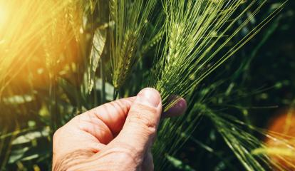 Wheat ears in farmer hands close up on field background- Stock Photo or Stock Video of rcfotostock | RC-Photo-Stock