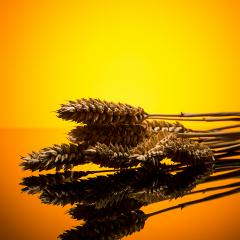 Wheat ears in sunset- Stock Photo or Stock Video of rcfotostock | RC-Photo-Stock
