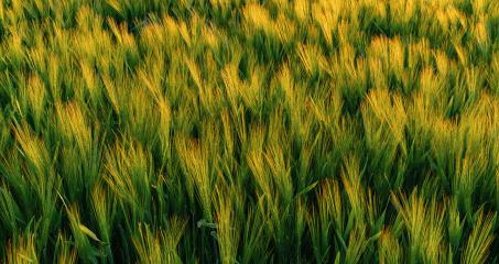 wheat field at summer- Stock Photo or Stock Video of rcfotostock | RC-Photo-Stock