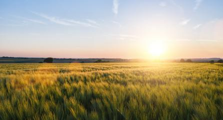 Wheat field landscape at sunset, including copy space- Stock Photo or Stock Video of rcfotostock | RC-Photo-Stock