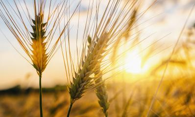 Wheat flied at sunset with clouds. agriculture concept image- Stock Photo or Stock Video of rcfotostock | RC-Photo-Stock