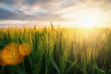 Wheat flied at sunset with clouds, agriculture concept image- Stock Photo or Stock Video of rcfotostock | RC-Photo-Stock