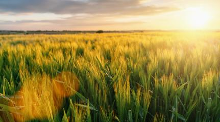 Wheat flied at sunset with clouds, rural countryside- Stock Photo or Stock Video of rcfotostock | RC-Photo-Stock