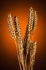 Wheat grain bundel- Stock Photo or Stock Video of rcfotostock | RC-Photo-Stock