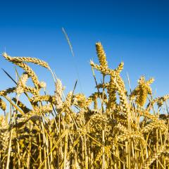 wheat harvest, wheat field on the background of blue sky in the sun.  agriculture.- Stock Photo or Stock Video of rcfotostock | RC-Photo-Stock