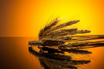 Wheat in the sunset- Stock Photo or Stock Video of rcfotostock | RC-Photo-Stock