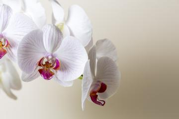 white Orchid flowers cosmetics on brown background : Stock Photo or Stock Video Download rcfotostock photos, images and assets rcfotostock | RC-Photo-Stock.: