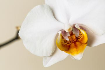 White Orchid singel flower on brown background- Stock Photo or Stock Video of rcfotostock | RC-Photo-Stock